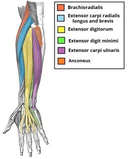 Forearm anatomny.jpg
