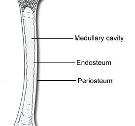 bone layers